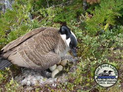 Goose and babies jpg